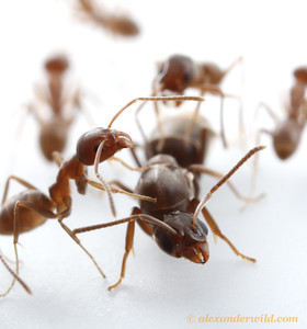 Workers tend to a queen in a laboratory colony of Argentine Ants (Linepithema humile).  California, USA