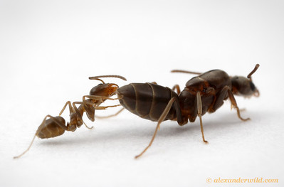 A worker and queen Argentine ant, Linepithema humile.  Córdoba, Argentina