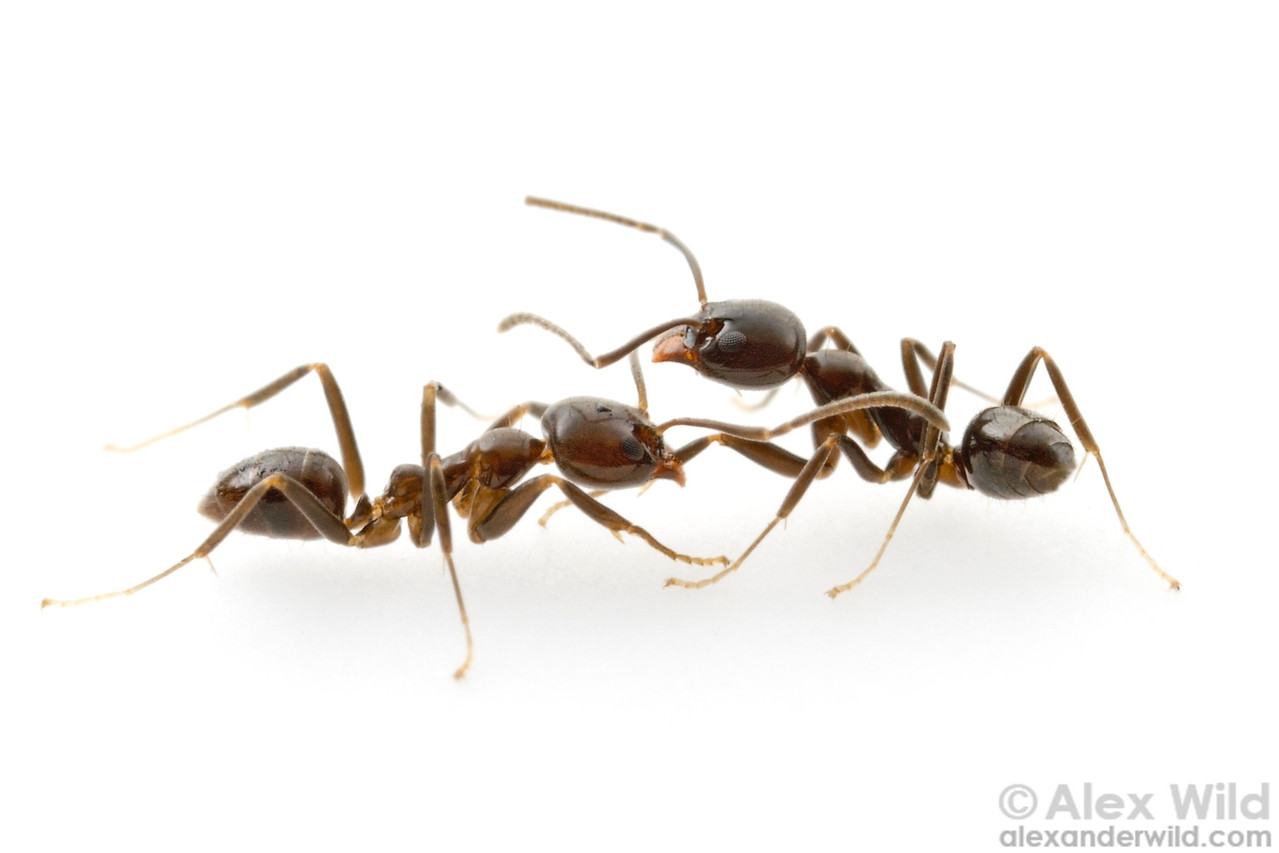 Linepithema iniquum workers from different colonies fighting.  Morretes, Paraná, Brazil