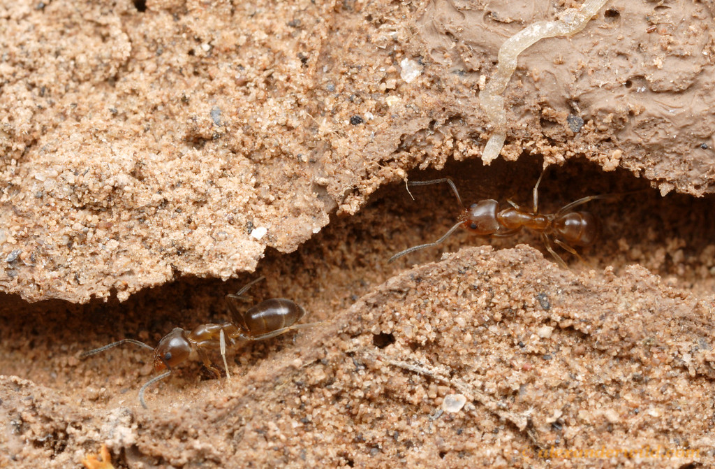 Linepithema micans running through tunnels in their underground nest.  Tafí del Valle, Tucumán, Argentina