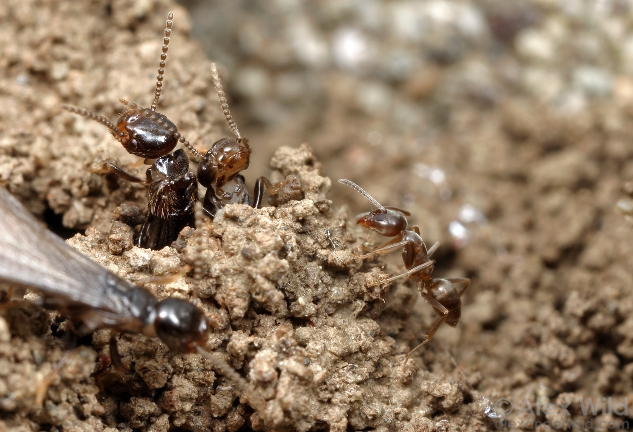 As a colony of subterranean termites (Reticulitermes hesperus) prepares for the annual release of winged reproductives, a predatory Argentine ant (Linepithema humile) approaches the nest for an easy protein meal.  Davis, California, USA