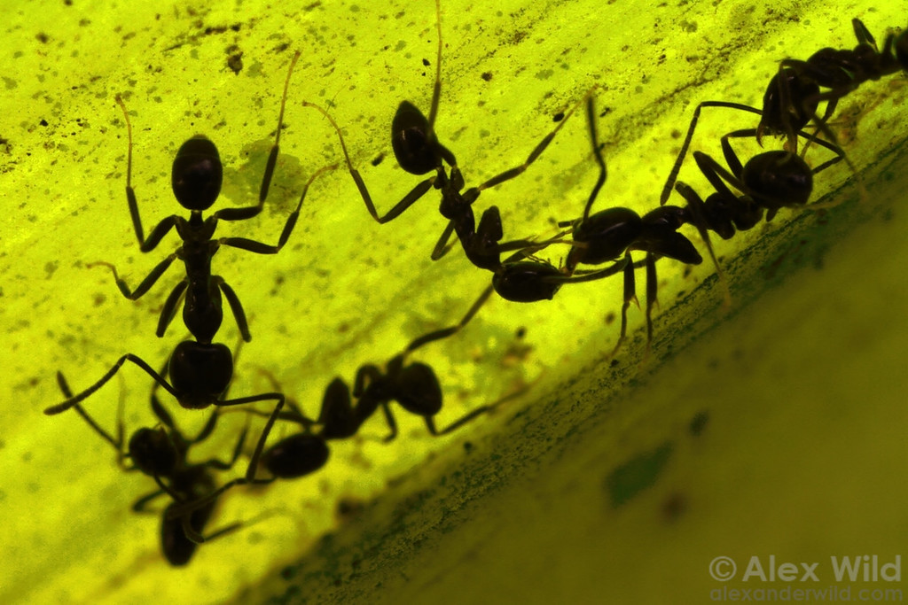 Inside the folds of an orchid plant, Linepithema iniquum ants from neighboring colonies fight over access to the plant's nectar sources.  Maquipucuna reserve, Pichincha, Ecuador