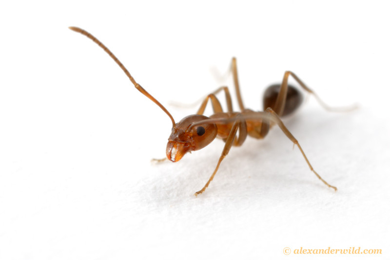 Portrait of Linepithema oblongum, the sister species of the infamous Argentine ant L. humile.  Little is known about the biology of this ant, in spite of its close relation to a major pest.  Salta, Argentina