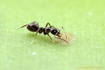 A Linepithema iniquum worker collects honeydew from a flat scale insect.  Maquipucuna reserve, Pichincha, Ecuador