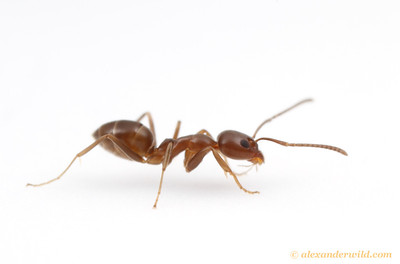 Linepithema humile, the Argentine Ant.  California, USA