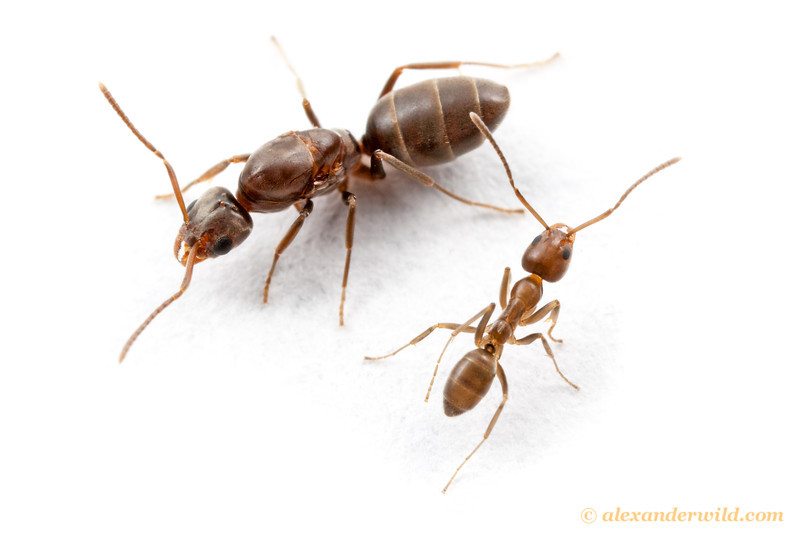 Linepithema humile, the Argentine ant, queen and worker in the species' native range.  Córdoba, Argentina