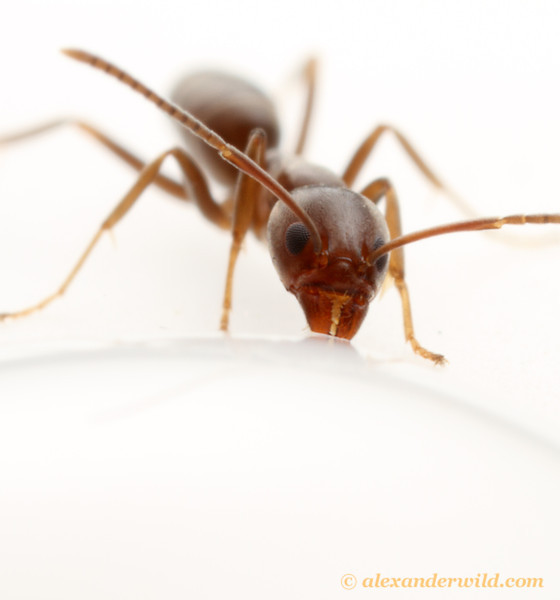 An Argentine Ant (Linepithema humile) drinking.  California, USA