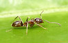Linepithema : Linepithema is an inconspicuous but ecologically important ant of Neotropical forests and mountains. One species, the Argentine ant L. humile, has become a significant pest in mediterranean climates worldwide.
