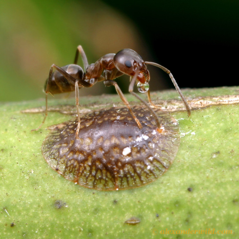 Linepithema humile, the Argentine ant, tending a citrus scale insect for honeydew.    Davis, California, USA