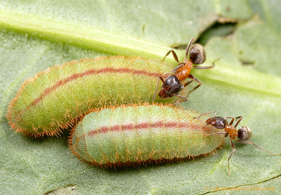 Liometopum occidentale velvety tree ant workers tending larvae of the copper butterfly Lycaena xanthoides.  The caterpillars produce a substance attractive to the ants, and the ants provide protection from predators and parasites.  Kern County, California, USA