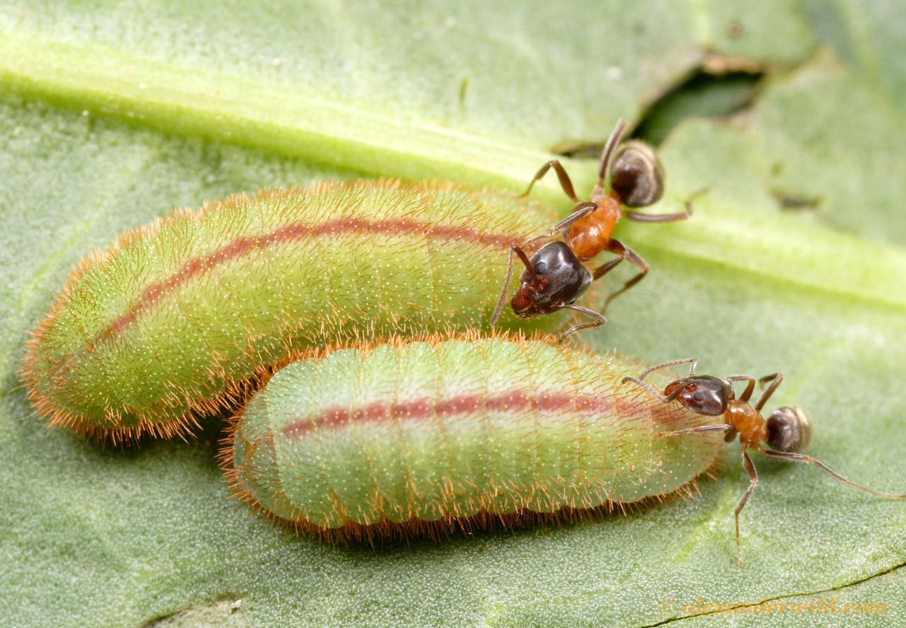 Liometopum occidentale with Lycaena xanthoides larvae