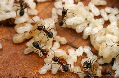 Inside a nest of Liometopum apiculatum workers have piled developing brood up under a sun-warmed rock.  Heat accelerates the process of metamorphosis.  Portal, Arizona, USA