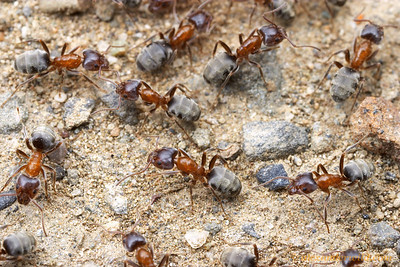 A busy trail of velvety tree ants (Liometopum occidentale).  Solano County, California, USA