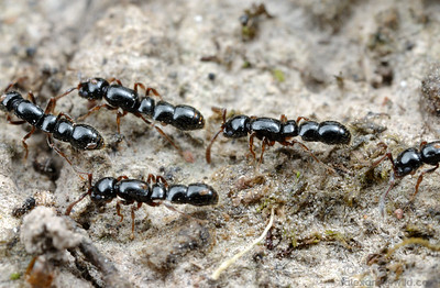 A column of sleek Cerapachys ruficornis.  Notice that most of these ants carry small red mites on their bodies.  Diamond Creek, Victoria, Australia