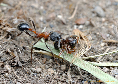 A Manica bradleyi forager has discovered the carcass of a Formica worker and is taking it back to her nest.  Ants often eat the remains of other ant species but will usually avoid consuming those of their own.  Nevada County, California, USA