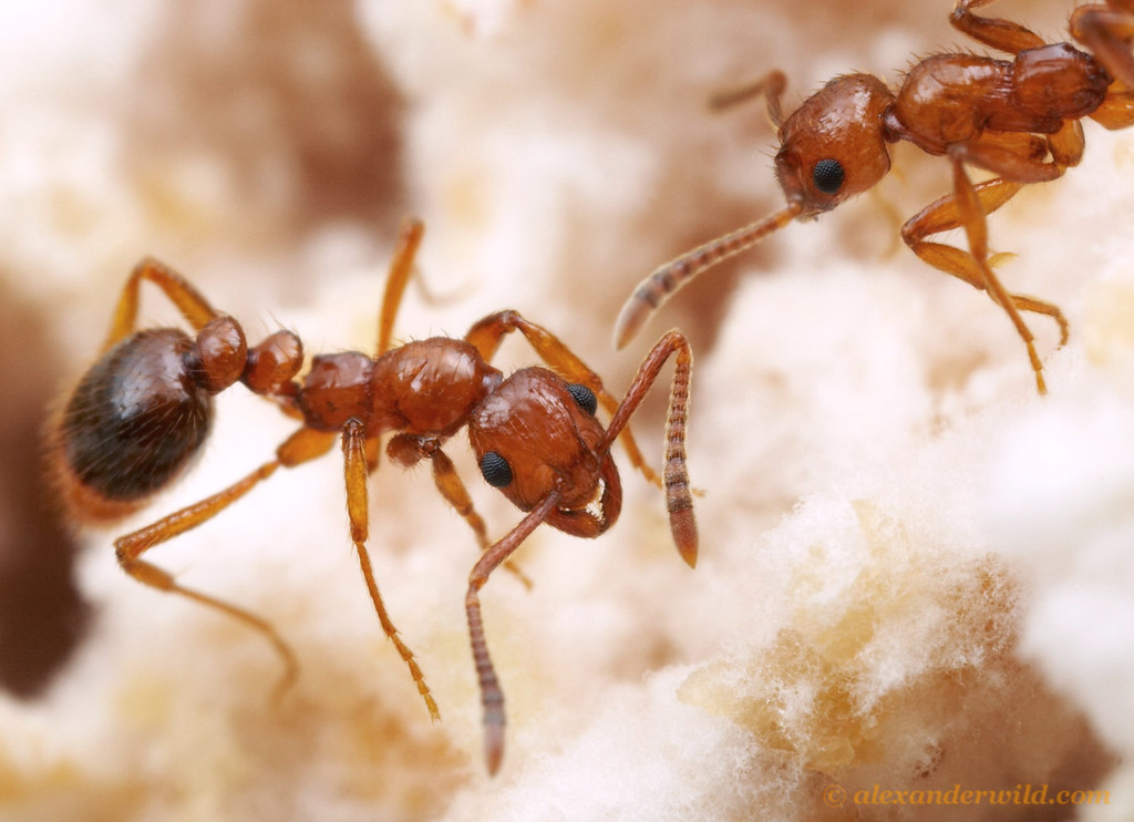 Megalomyrmex adamsae, a social parasite of Trachymyrmex fungus-growing ants.  Panama; captive colony at the University of Texas