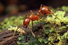Megalomyrmex : Megalomyrmex is a genus of slender myrmicine ants found in wet Neotropical forests.  Some species, such as M. symmetochus pictured below, are specialist predators or parasites of fungus-growing ants.