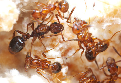 Colonies of the social parasite Megalomyrmex adamsae are small, consisting of only a handful of ants.  They raise their brood in small chambers built within the fungus gardens of their host species.  Here the queen is visible in the middle of the nest chamber.  Panama; captive colony at the University of Texas