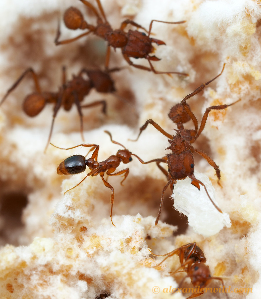 Megalomyrmex adamsae & Trachymyrmex.  Ant nests present a rich concentration of resources for organisms that can get past the ants' defenses.  Nests often contain parasites, and one of the more intriguing cases of parasitism in the new world tropics involves another ant species, the parasite Megalomyrmex adamsae (the smaller ant at center-left).  These solenopsidine ants inhabit nests of fungus-growing attine ants and feed on the brood and gardens of their hosts.  Panama; captive colony at the University of Texas