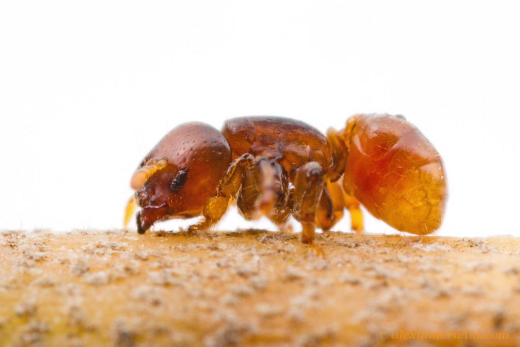 Melissotarsus weissi  Kibale Forest, Uganda