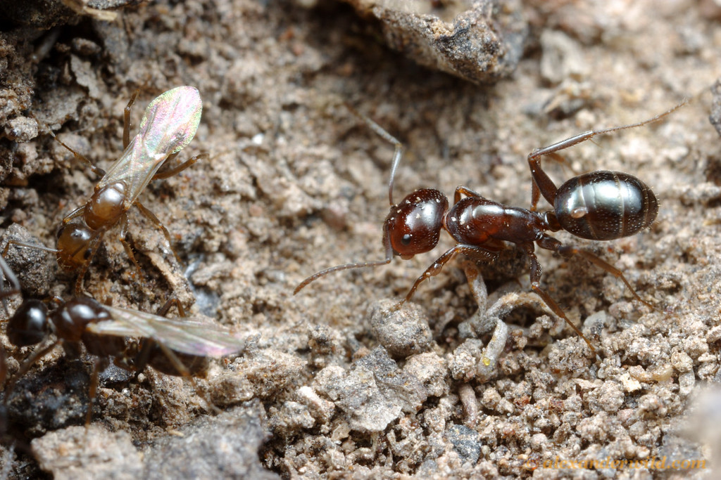 Melophorus sp., worker and males.  Notice the mites riding on the body of the ant on the right- ants often carry a load of mites.  Yandoit, Victoria, Australia