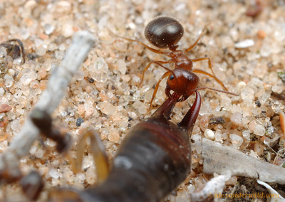 Melophorus sp. worker carries an earwig carcass back to her nest.  Poochera, South Australia