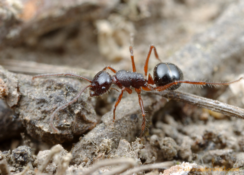 A foraging Melophorus worker.  Diamond Creek, Victoria, Australia
