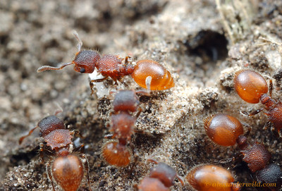 Meranoplus sp. shield ants.  Diamond Creek, Victoria, Australia