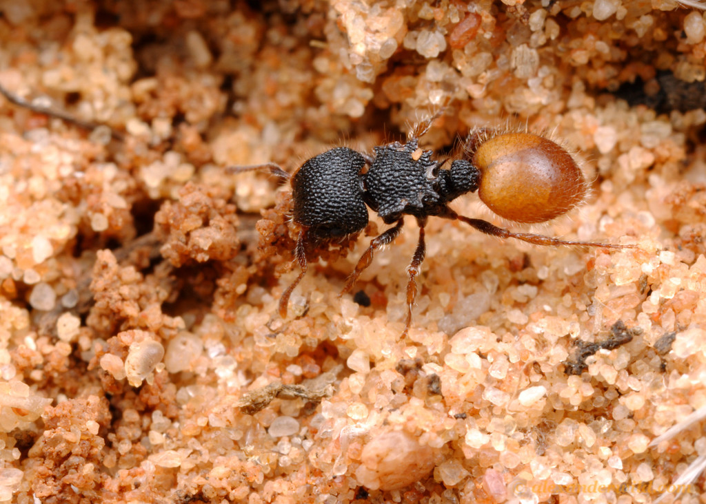 A Meranoplus shield ant carries a bit of soil from a nest excavation.  Peebinga Conservation Park, South Australia
