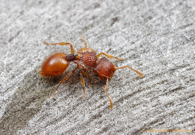 A nocturnal Meranoplus shield ant forages on a Eucalyptus trunk.  Poochera, South Australia