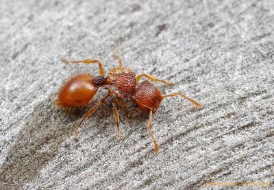 A nocturnal Meranoplus shield ant forages on a Eucalyptus trunk.  Poochera, South Australia