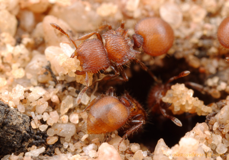 Meranoplus shield ants working at the nest entrance.  Peebinga Conservation Park, South Australia