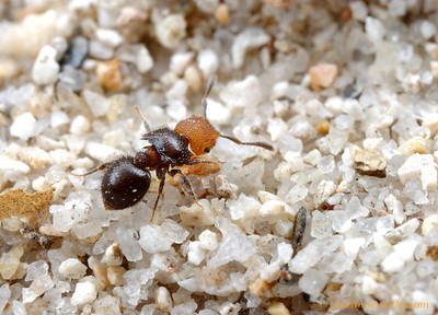 Meranoplus sp. shield ant.  Cape York Peninsula, Queensland, Australia