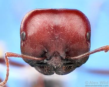Messor cephalotes