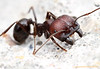 Messor : Messor is a heterogenous genus of myrmicine harvester ants found in arid regions in North America, Africa, and Eurasia.