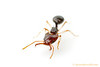 Microdaceton : Microdacetonis a small genus of miniature African trap-jaw ants.