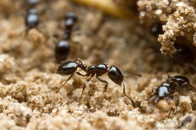 Monomorium minimum workers at the nest entrance.  Manhattan, Kansas, USA