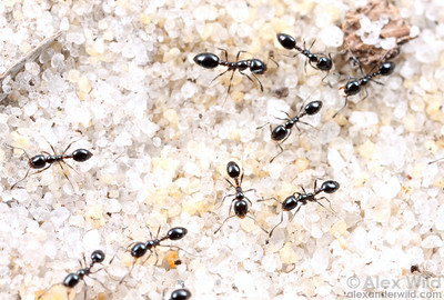 Monomorium sp.   Archbold Biological Station, Florida, USA