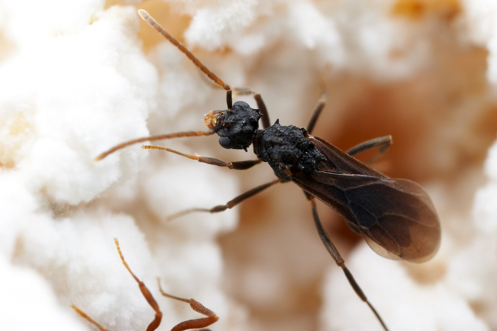 Mycetarotes male.  His relatively long antennae and large eyes help locate queens during mating flights outside the nest.  Winged males and queens serve as a reminder of the wasp ancestry of ants.  Parque Nacional Iguazu, Argentina; Laboratory colony at the University of Texas