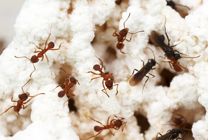 Mycetarotes fungus garden in a lab nest.  Male ants, seen here as the winged, dark-colored individuals, perform no labor in the colony, serving instead to disperse the colonies' genes during periodic mating flights outside the nest.  Parque Nacional Iguazu, Argentina; Laboratory colony at the University of Texas