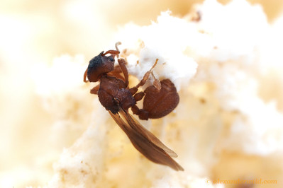 Mycetosoritis hartmanni alate queen in a laboratory nest.  Texas, USA