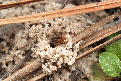 Mycetosoritis hartmanni nest entrance.  Smithville, Texas, USA