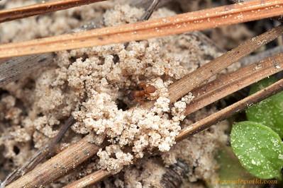 Mycetosoritis hartmanni nest entrance.  Smithville, Texas, USA