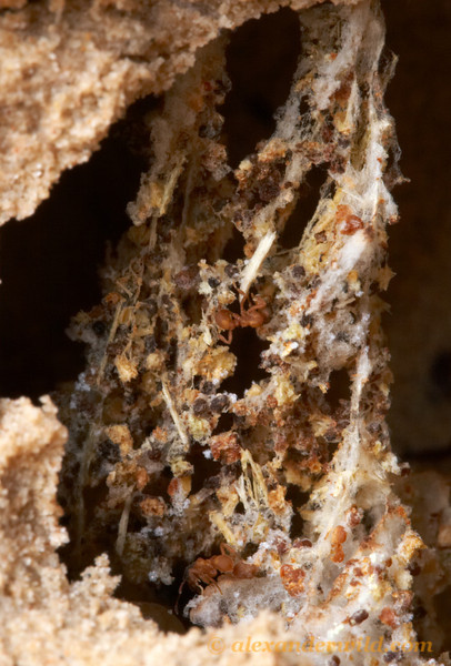 A half meter underground, a small colony of Mycetosoritis hartmanni cultivates their fungus in a garden hung from the chamber ceiling.  The fungus is visible here as the white, stringy material growing between the bits of detritus that the ants have fed to it.   Smithville, Texas, USA