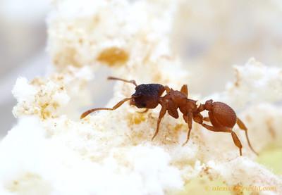 Mycetosoritis hartmanni  Texas, USA