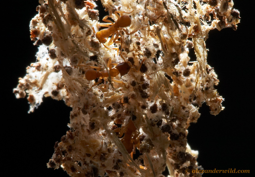 Mycetosoritis hartmanni in their subterranean fungus garden.  The fungus- a white stringy material- grows between the bits of debris fed to it by the ants.  The ants then feed from the fungus- a true agricultural system.  Smithville, Texas, USA
