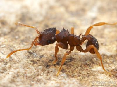 Mycocepurus curvispinosus