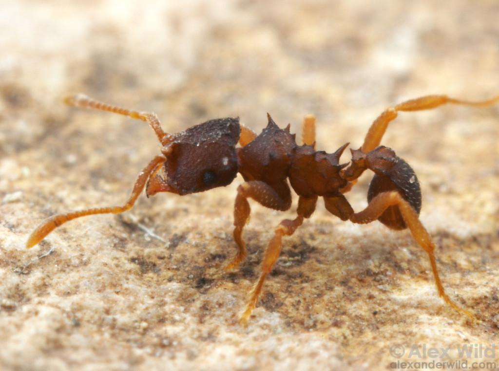 Mycocepurus curvispinosus  Panama