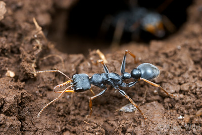 A jack-jumper Myrmecia pilosula at the nest entrance.  Tower Hill, Victoria, Australia