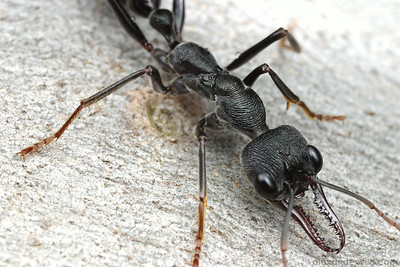 Myrmecia pyriformis brown bull ant.  Nhill, Victoria, Australia